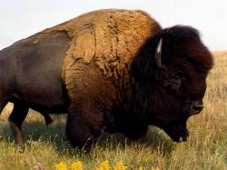 "Today I found out American ""buffalo"" are not actually buffalo."
