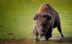 ... american bison wallpaper (3) ...