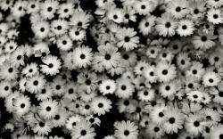 Black and white flowers wallpapers and images