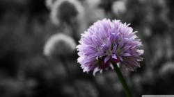 Flower Black And White Background Background 1 HD Wallpapers