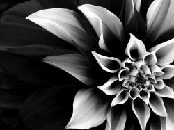 Black and White Flower 5179