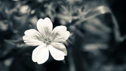 Black White Flower Photography