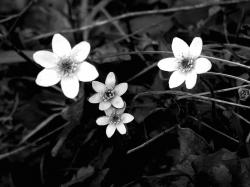 Black And White Flower Images 20 HD Wallpapers