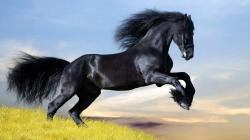 Horses Black And White Desktop Images 24636 High Resolution
