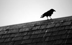 Black Bird Raven