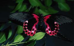 DOWNLOAD: black-butterfly free picture 2560 x 1600