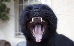 Black cat yawning Wallpaper in 2880x1800 Retina 15''