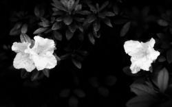 Black Flower Wallpaper