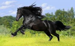 Black Horse HD Wallpapers 03