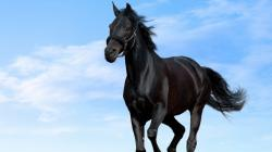 Black Horse HD Wallpapers 04