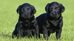 Couple Black Labrador Retriever Pictures