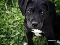 Dogs Black Labrador Retriever puppy.