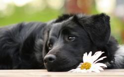 innocient black labrador retriever dog