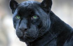 ... Panther #05 Image ...