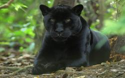 DOWNLOAD: Black panther.jpg free picture 2560 x 1600
