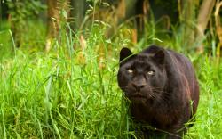 Black panther nature