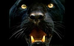HD Wallpaper   Background ID:347199. 1920x1200 Animal Black Panther