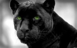 Panther Wallpaper Images Pictures Becuo 1920x1200px