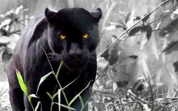 black panther (15)