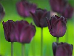 Black Tulips 1298