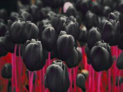 Black Tulips by D4Rud3 ...