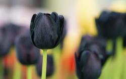 Spring Flowers Black Tulips HD Wallpaper