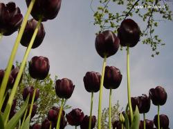 ... Dutch Tulips - Black Tulip, Queen of the Night - 3981 | by HereIsTom