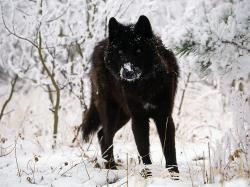 No Justice For Montana and Idaho Wolves… » black wolf in snow beautiful eyes kewl