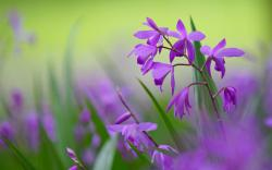 Bletilla Flowers