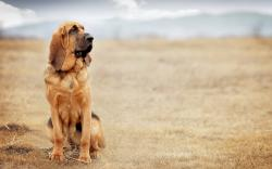 HD Wallpaper | Background ID:459646. 3840x2400 Animal Bloodhound