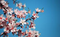 wallpaper cherry, flowers, petals, pink, branch, bloom, spring
