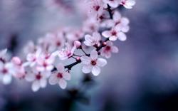 Blossom Wallpaper · Blossom Wallpaper ...
