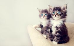 Lovely Kittens Blue Eyes Photo