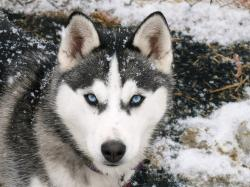 siberian huskies with blue eyes