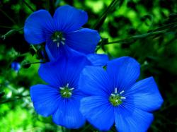 Blue Flowers Bloom in Garden
