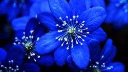 Images Of Blue Flowers Widescreen 6 Thumb