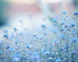 cynthia-selahblue (cynti19) blue flowers