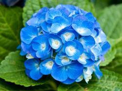 Blue Flowers 29 Wallpaper HD