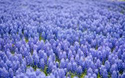... Blue Flowers Wallpaper ...