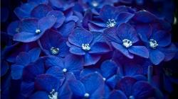 Flowers Blue Flowers