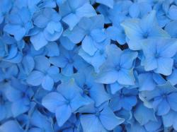 Blue Flowers Images For Iphone 4 HD Wallpapers