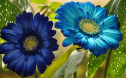 Blue gerbera Wallpaper in 1680x1050 Widescreen
