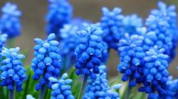 blue hyacinth wallpaper