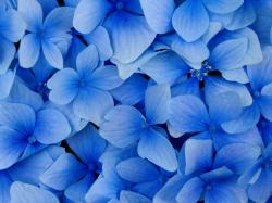 Blue Hydrangea Blossoms Wallpaper Hot Hd 1600x1200px
