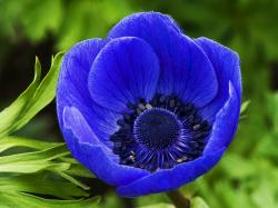 Blue Poppy, a blue flower