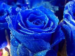 Description: Blue Rose Flower Wallpaper