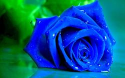Beautiful Blue Roses 29660