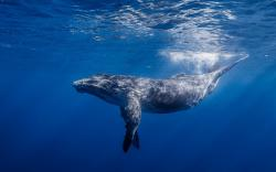 Blue Whale Ocean Underwater