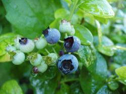 A maturing 'Polaris' blueberry (Vaccinium corymbosum)