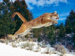 Bobcat Wallpaper: Hd Wallpapers Bobcats in Washington State Kb Jpeg 1600x1200px